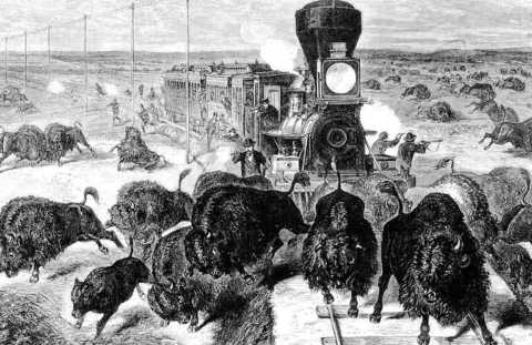 The Bison: from 30 million to 325 (1884) to 500,000 (today