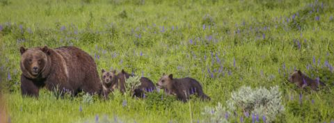 Grizzly 399 and her four cubs near Signal Mountain Lodge